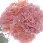 Reisbrei mit Rosen für Harmonie und Glück